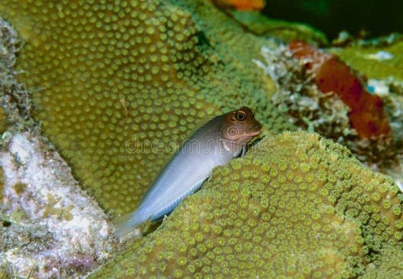 Blenny di Redlip (atlanticus di Ophioblennius) immagini stock