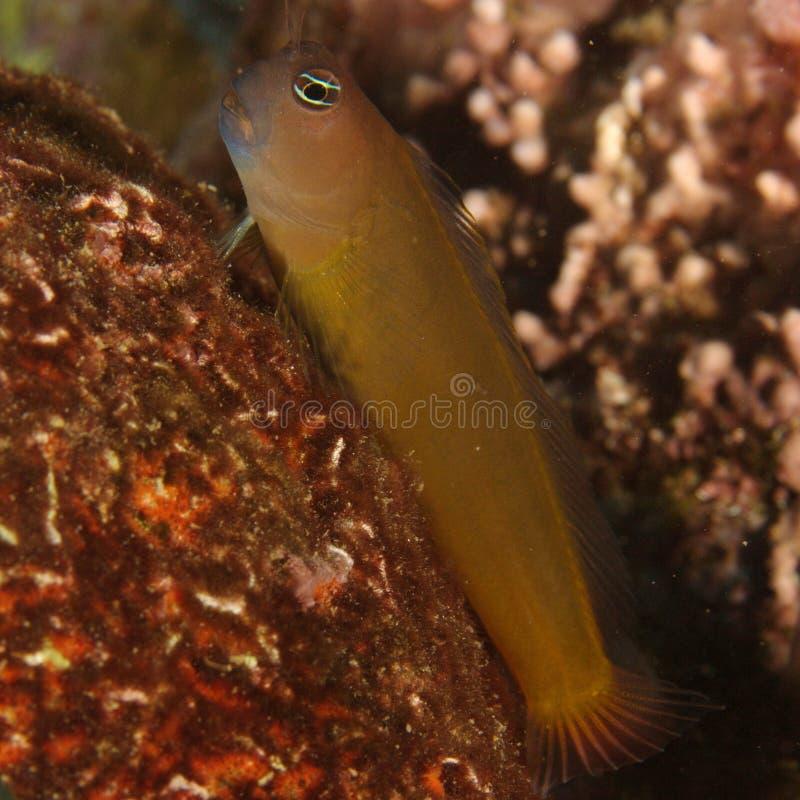 Blenny (Ecsenius frontalis) stock photo