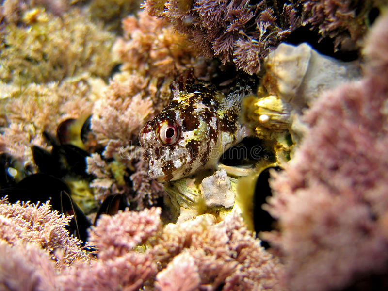 Blenny Head Stock Images