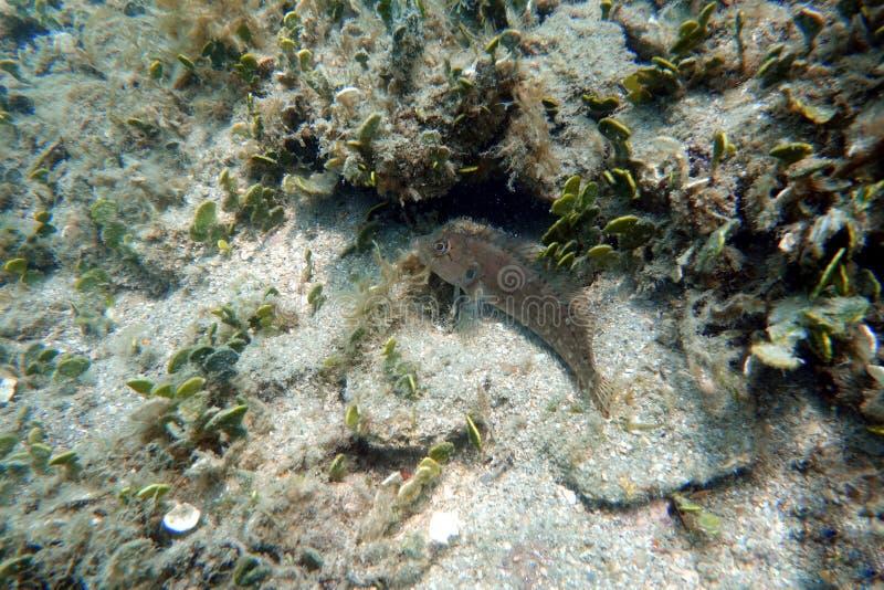 Blenny rybi obsiadanie na dolnym oceanie obraz stock