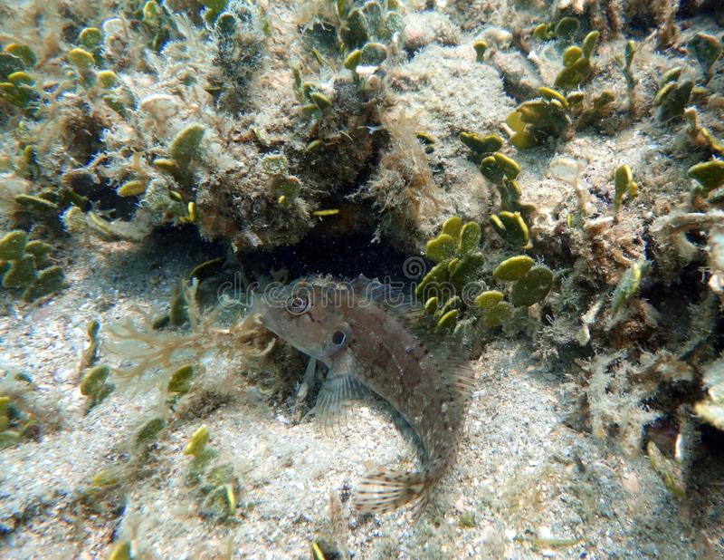 Blenny rybi obsiadanie na dolnym oceanie obraz royalty free