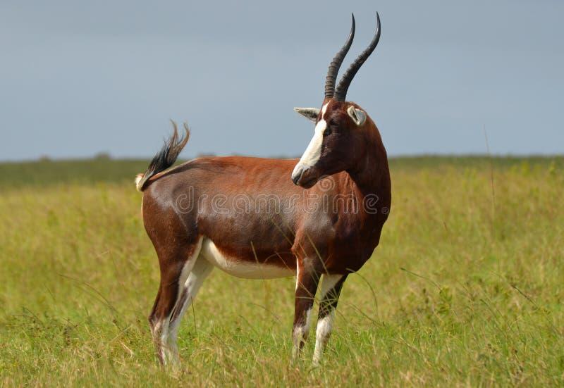 Blesbok antelope royalty free stock photo