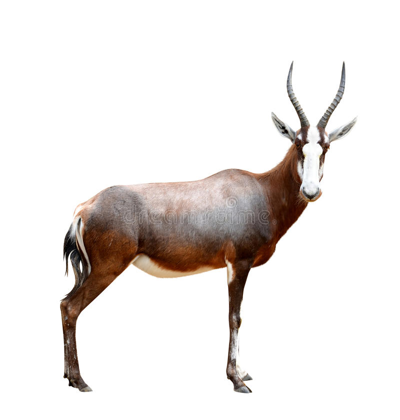 Free Blesbok Antelopes Royalty Free Stock Images - 54744599