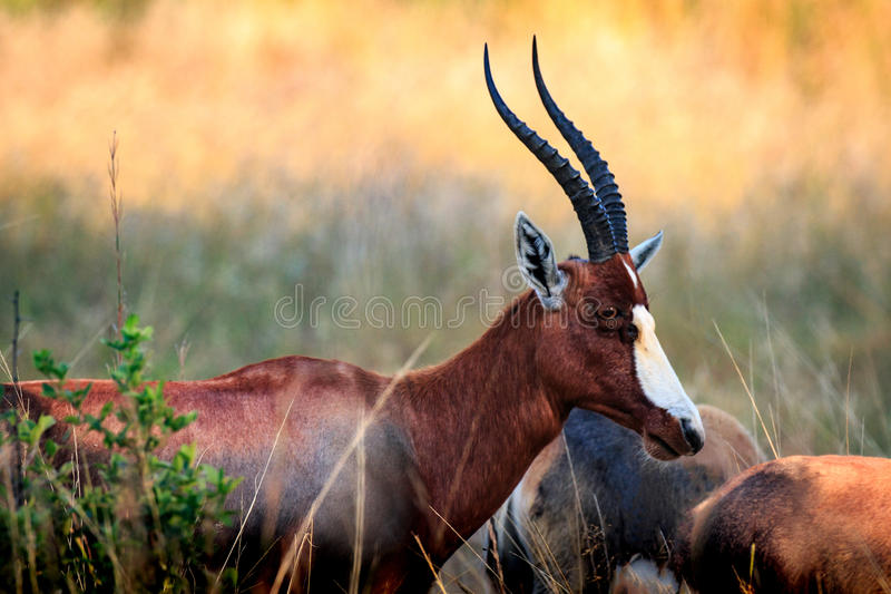 Blesbok au coucher du soleil photo stock