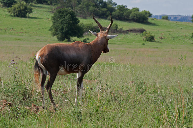 BLESBOK BULL photo stock