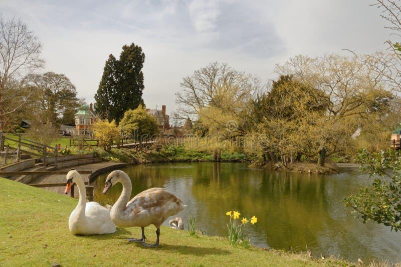 Bletchley park, wiosen łabędź w parku zdjęcia royalty free