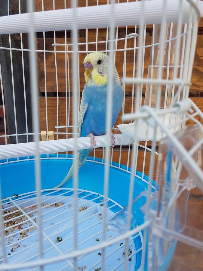 Bleu de perroquet dans une cage de magasin de bêtes image libre de droits