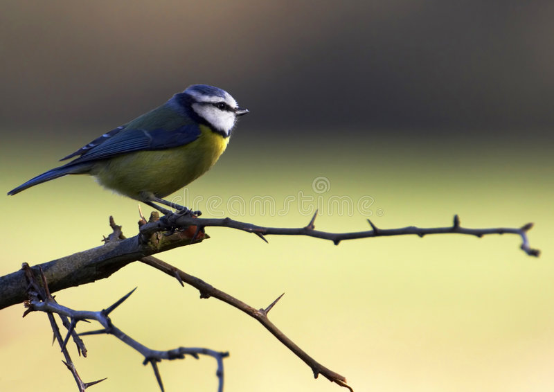 Bleu-Mésange sur l'aubépine image libre de droits