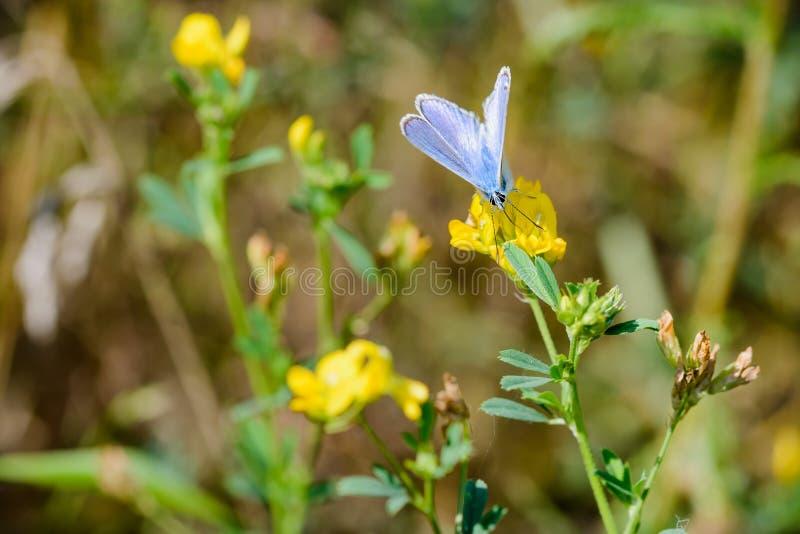 Download Bleu Ou Polyommatus Commun Icarus Butterfly Photo stock - Image du herbe, saison: 76079798