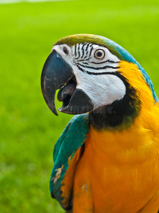 Bleu, perroquet sauvé par ara d'or image libre de droits