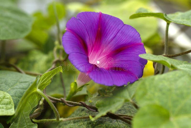 Bleu s'élevant d'ipomea de fleur divinement photo stock