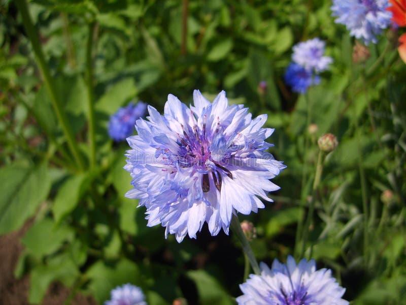 Bleuet bleu de photo dans le domaine, photo de fleur bleue image libre de droits