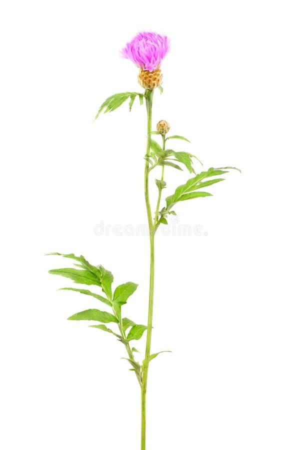 Bleuet (Centaurea) d'isolement sur le fond blanc photographie stock