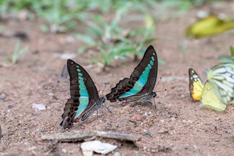 Bleuet vitreux un beau papillon de la forêt images stock