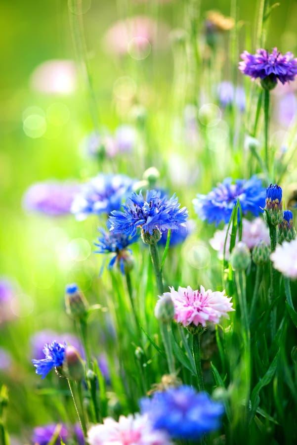 Bleuets. Fleurs bleues sauvages photo stock