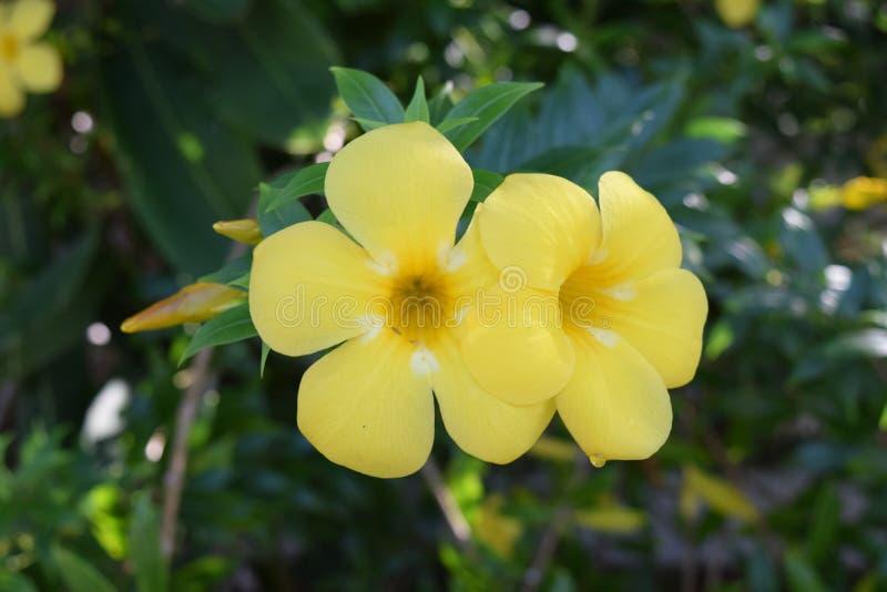 Bliźniaczy Żółty Frangipani kwitnie od Thailand obraz royalty free