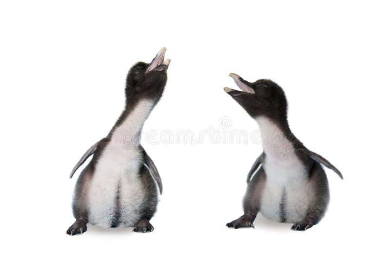 Bliźniaczy dziecko pingwiny obrazy royalty free
