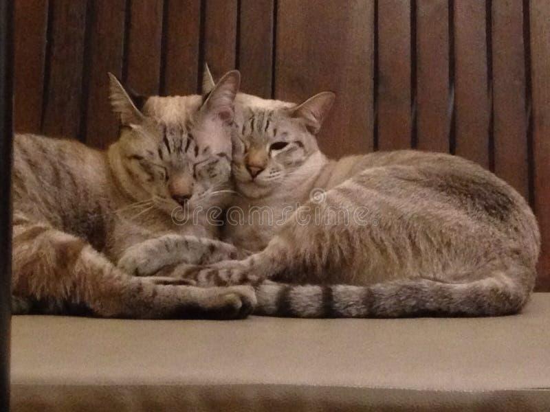 Bliźniaczy koty obrazy royalty free