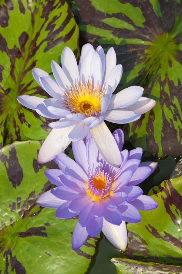 Bliźniaczy purpurowy lotos w lagunie fotografia royalty free