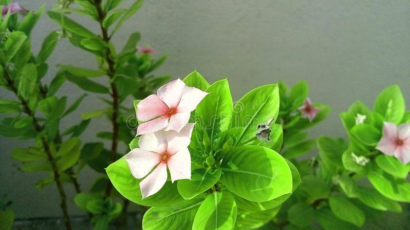 bliźniaka piękny kwiat fotografia royalty free