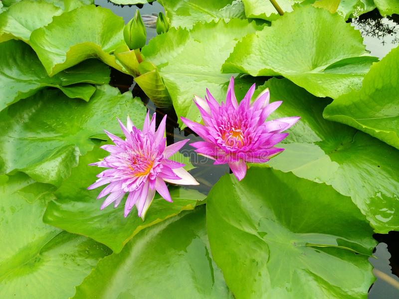 Bliźniaka różowy lotos przy liśćmi i kolor żółty w ten sposób śliczny zdjęcia stock