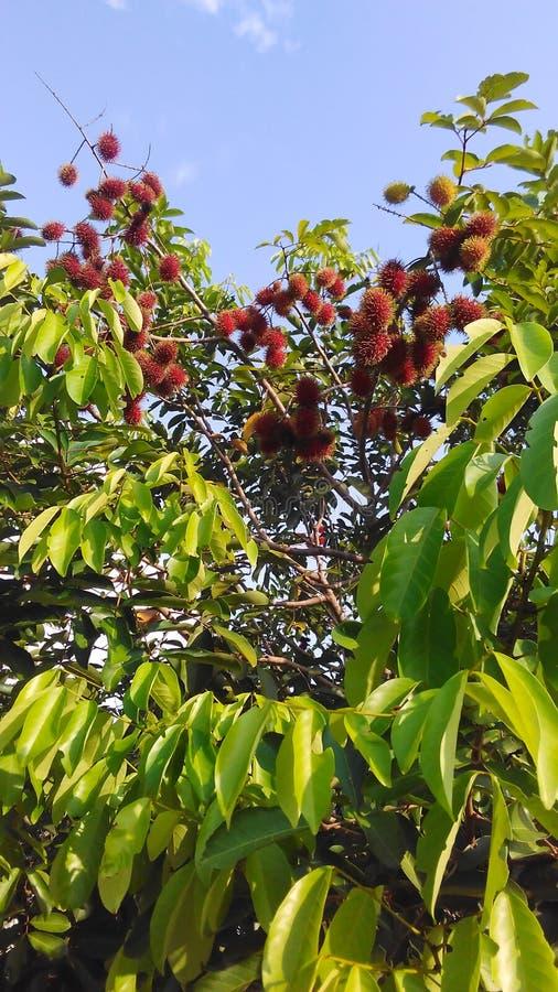 Bliźniarka na drzewie fotografia royalty free