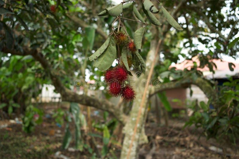 Bliźniarki owoc w Malaysia obraz royalty free
