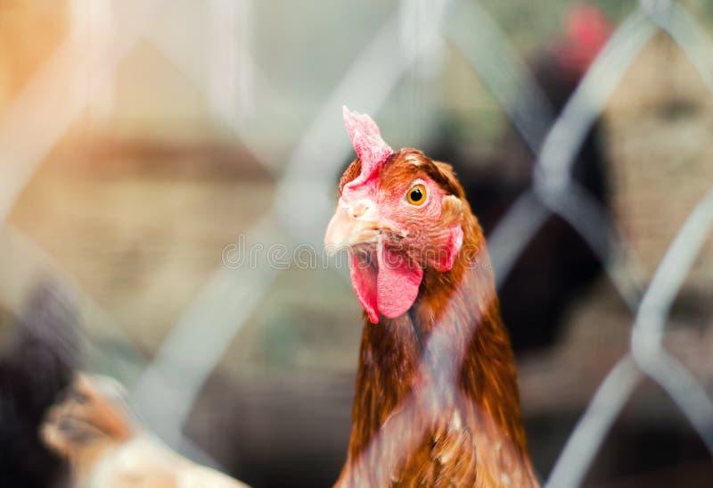 Bli rädd i en hönshusnärbild, höns, lantbruket, fega ägg arkivfoto