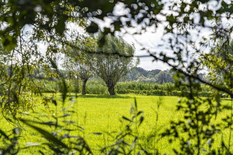 Blick auf eine grüne Wiese mit Weiden, Zoetermeer, Niederlande stockfotografie