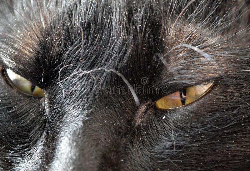 Blicken av de mörka gula ögonen av en svart katt royaltyfri bild