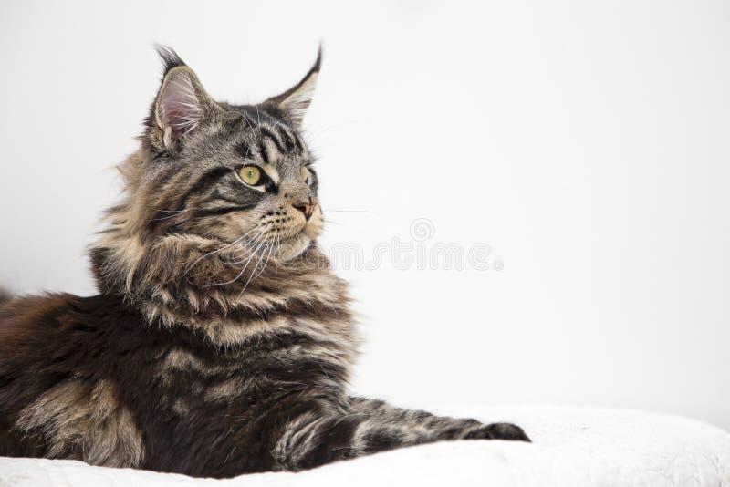Blicken av den härliga Maine Coon kattvstorinuen på en vit bakgrund arkivfoto