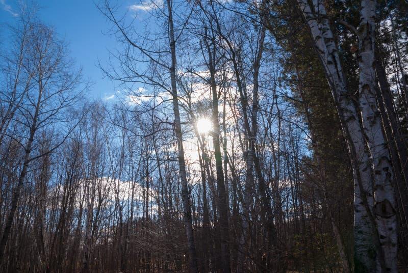 Blicken in Richtung der Sonne im blauen Himmel durch hohe Bäume stockfotografie