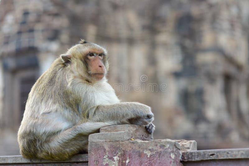 Blickkontakt vom monkeyMonkey, das etwas wartet lizenzfreies stockfoto