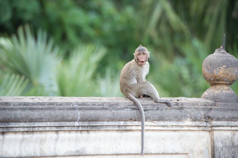 Blickkontaktaffe, der auf der Wand, Affe Thailand sitzt stockfotografie
