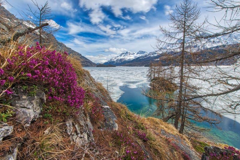 Blidväder i höga berg med vårblommor och den halva fryste sjön, arkivfoton