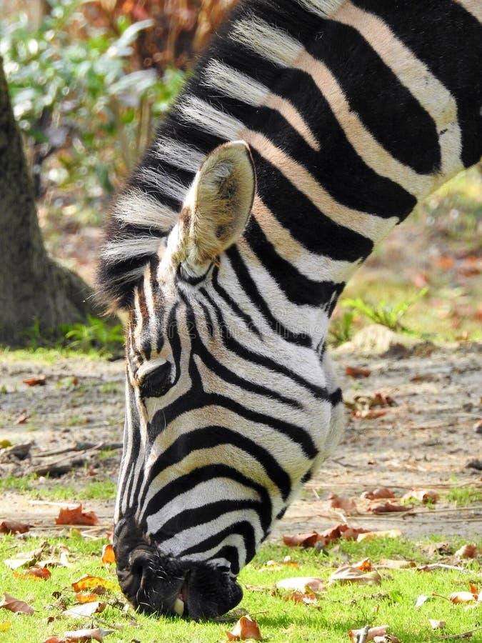 Zebra. Blijdorp zoo Rotterdam wildlife stock image