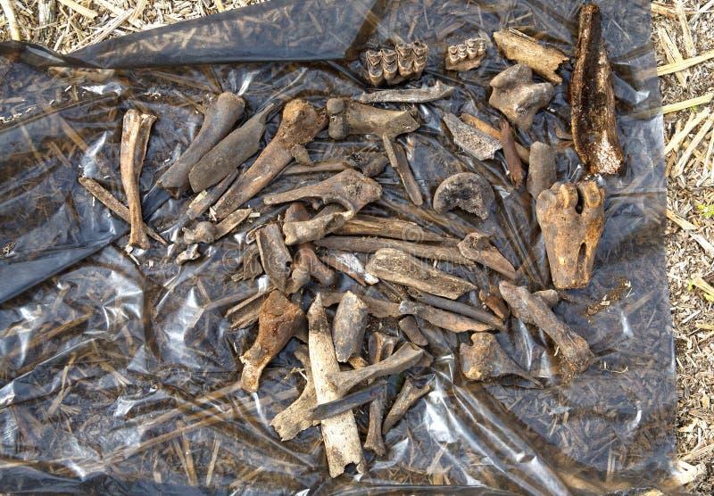 Blijft van middeleeuwse dieren gedood die en door mensen in de veertiende-14th-17ste eeuw worden gegeten stock fotografie