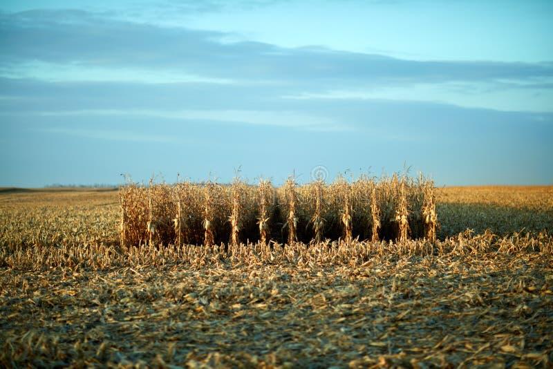 Blijvend ongesneden maïs in het centrum van een gebied stock foto