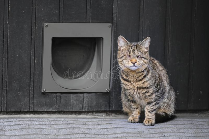 Blind domestic cat sitting in front of a cat flip. stock photo