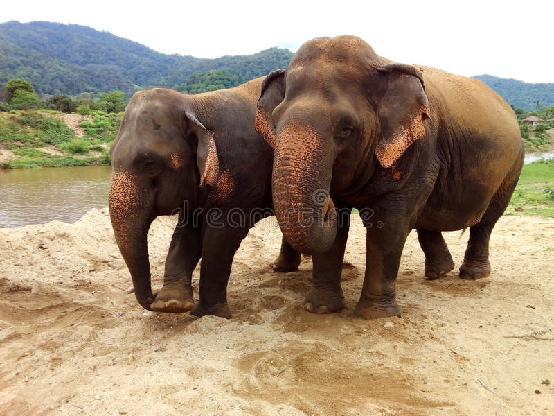 Blind elephant helped by friend royalty free stock photo