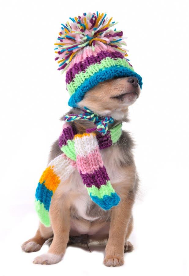 Blind, gesloten ogenconcept. Gekleed Puppy Chihuahua stock foto's