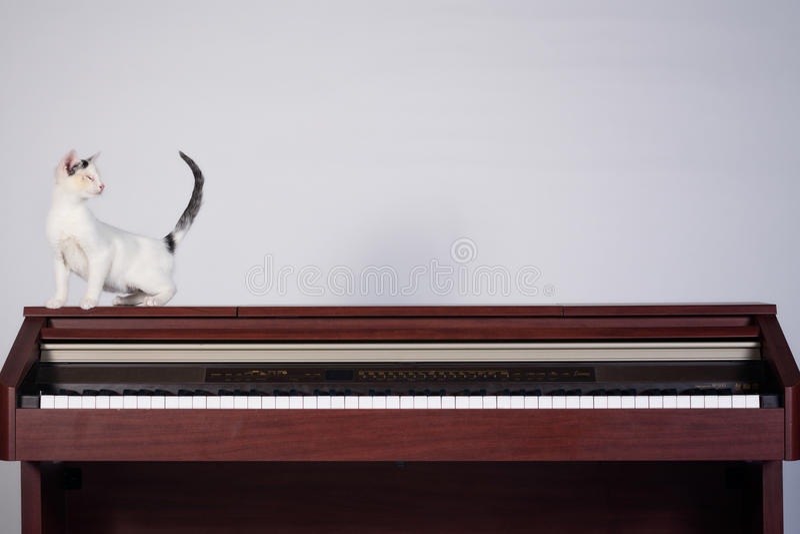 Blind katt som spelar på ett piano royaltyfri bild