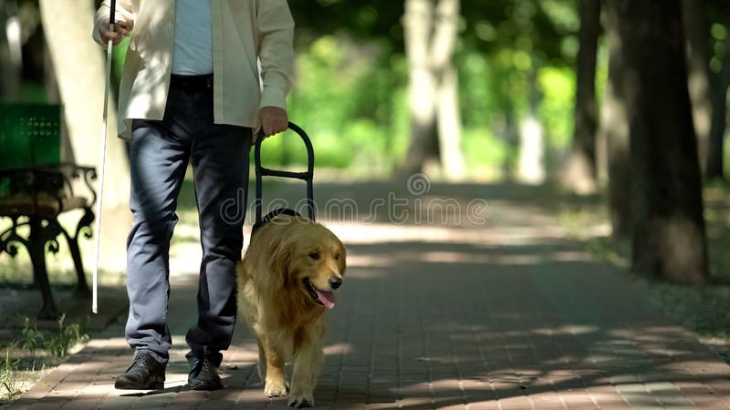 Blind man holding guide dog harness, safely walking with trained pet in park. Stock photo royalty free stock images