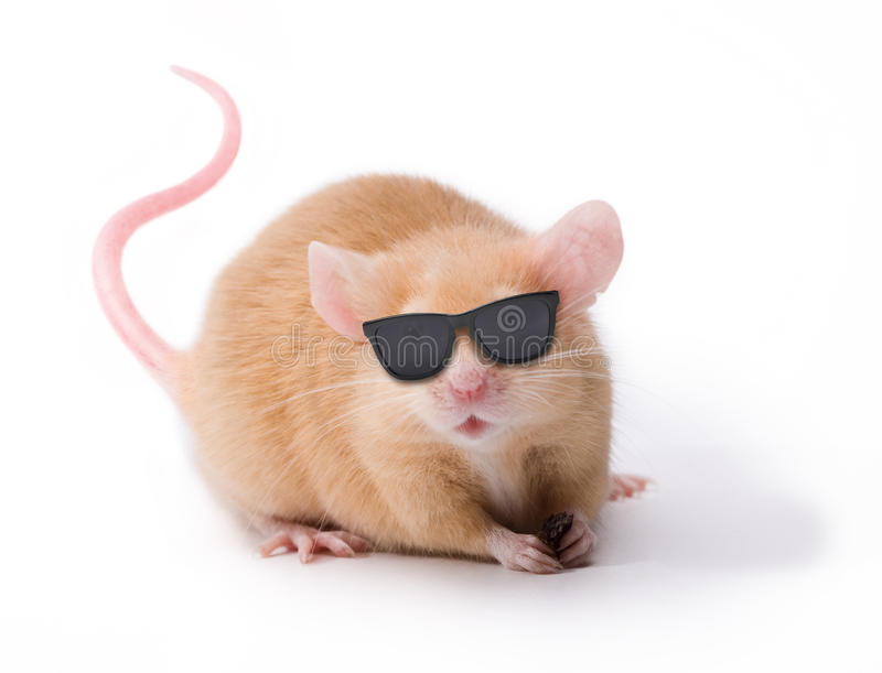 Blind Mouse With Sunglasses. A blind brown pet mouse wearing sunglasses isolated on white