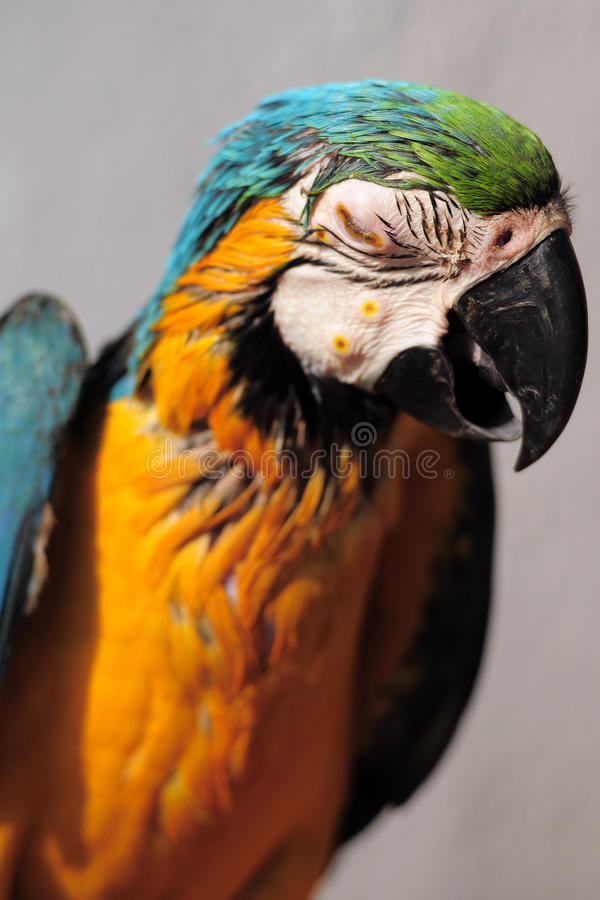 Download Blind parrot stock image. Image of yellow, park, animal - 14613691