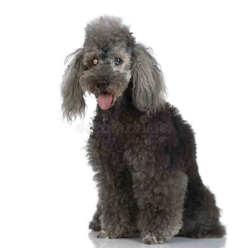 Free Blind Very Old Poodle Stock Photo - 2671250