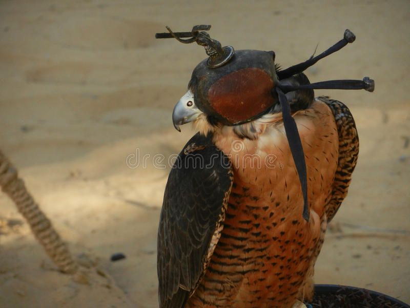 Blinded falcon in desert. One brown falcon with blinded eyes at desert royalty free stock image