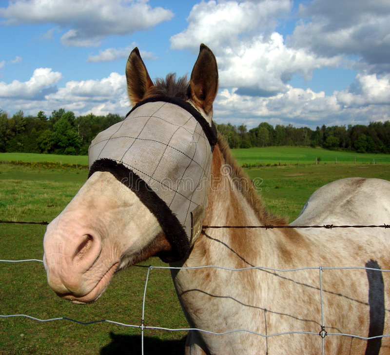 Blinded Horse Royalty Free Stock Photography