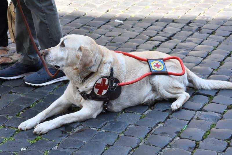 Blindenhund wartet geduldig mit seinem behinderten Mann stockbilder