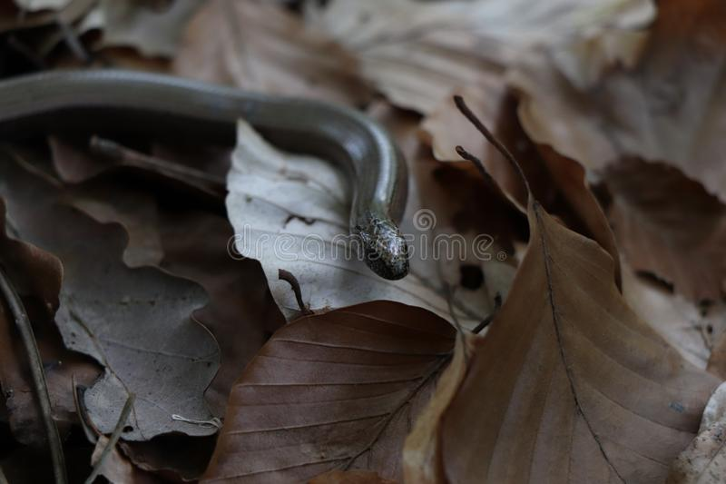Blindworm winding through dry brown leaves royalty free stock image